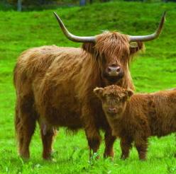 calf_cow